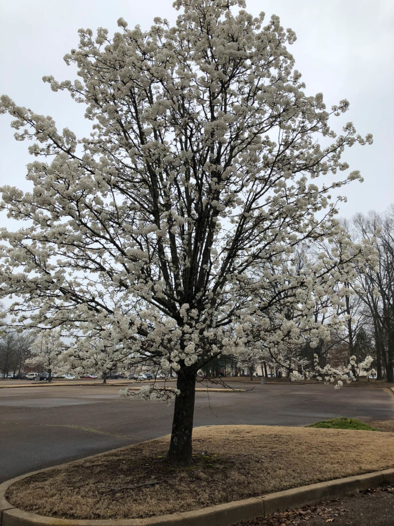 Jim West Central Church Collierville, TN Trees Blooming